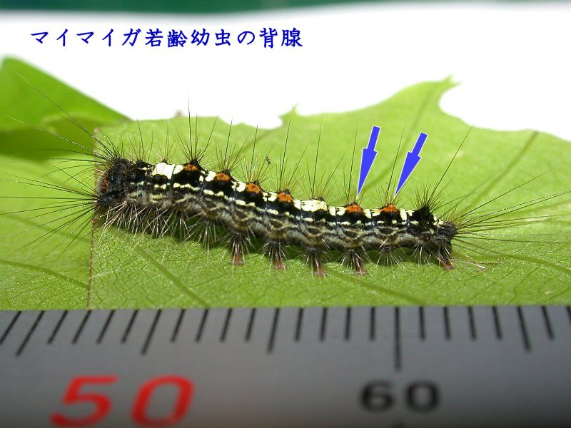 f:id:insectmoth:20180104203236j:plain