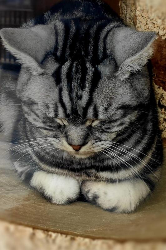 ごめん寝をしている猫