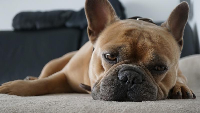 疲れて寝ているブルドック