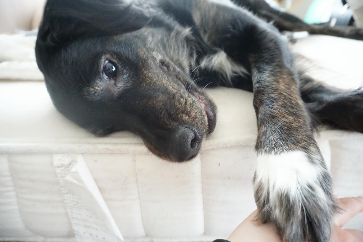 犬ブログ ゴールダー