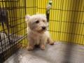 [ペット博][犬]Pet博2009 in 東京 / ウエストハイランドホワイトテリア