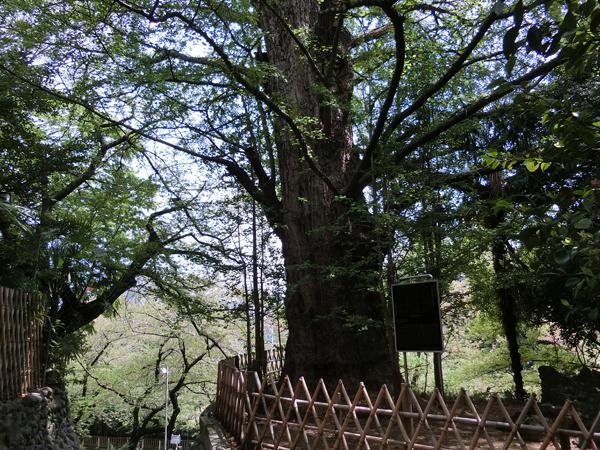 王子神社の大銀杏