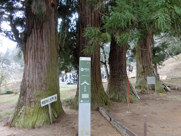 諏訪大社の五本杉