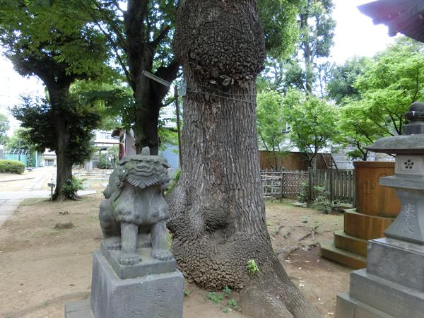 西向天神社の大楠