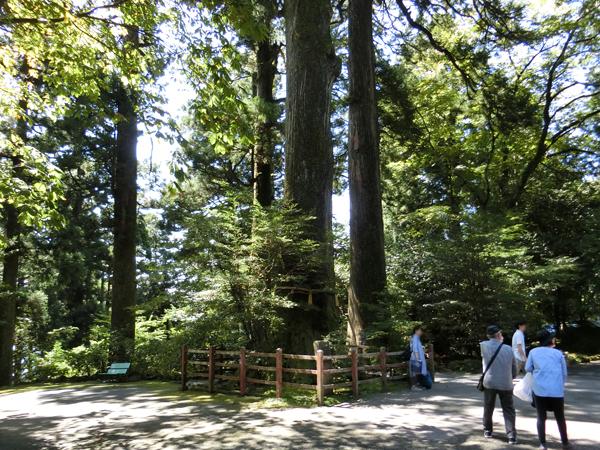 箱根神社の矢立のスギ