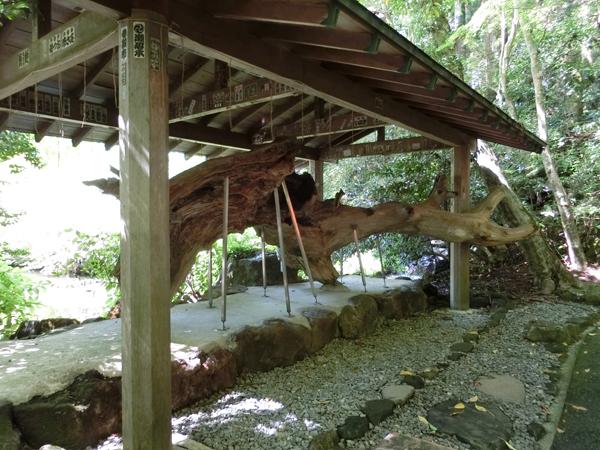 箱根神社のけけら木