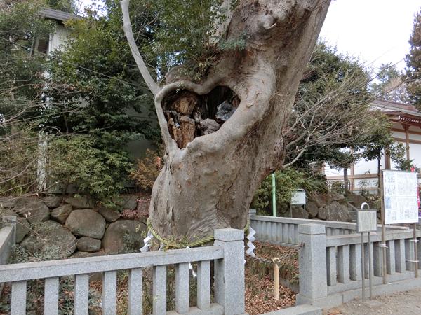 青渭神社の大ケヤキ
