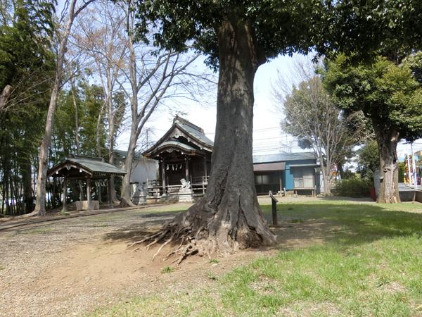 車返諏訪神社のシラカシ