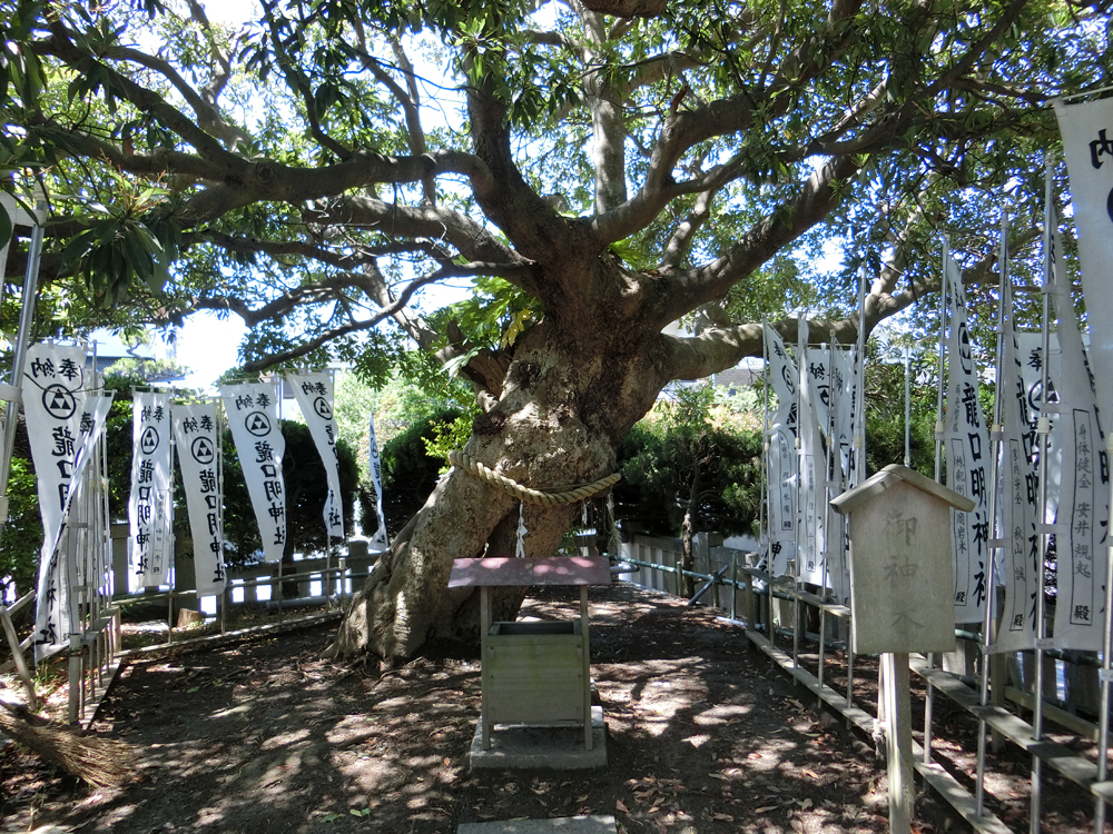龍口明神社の御神木
