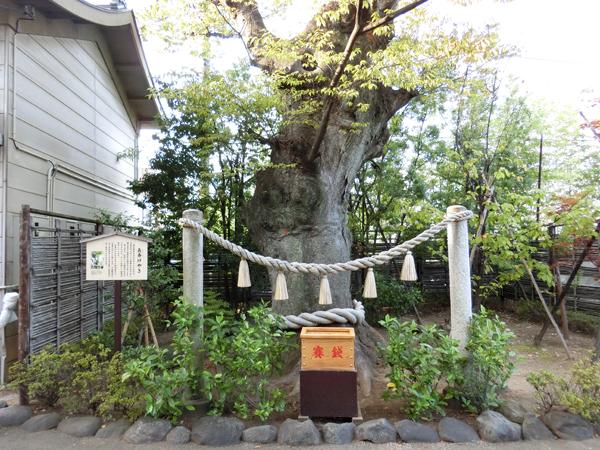 溝口神社の長寿ケヤキ