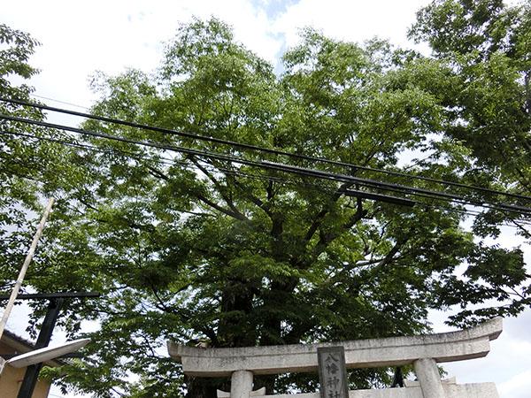 是政八幡神社のケヤキ