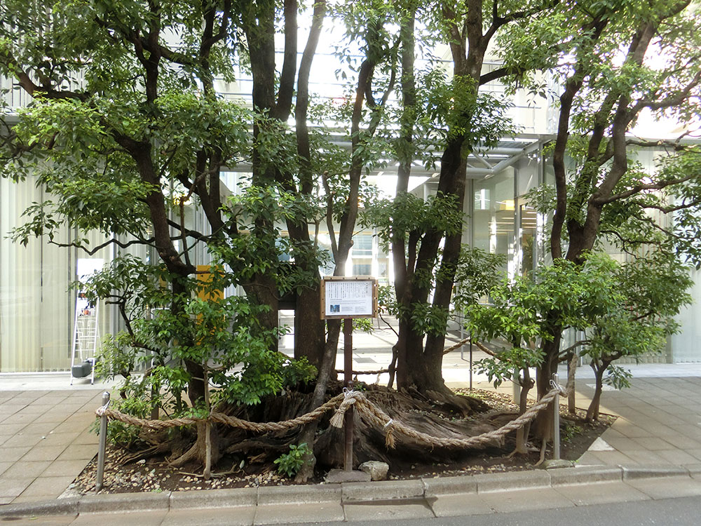 表参道の楠の御神木