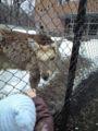 円山動物園のエゾシカ
