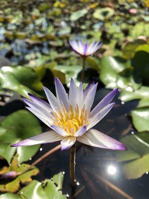 台北植物園睡蓮