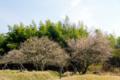 京都新聞写真コンテスト 梅香