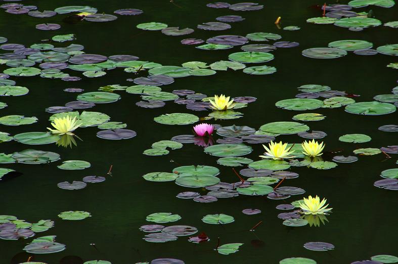 京都新聞写真コンテスト 蓮池