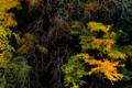京都新聞写真コンテスト 柿降る里山