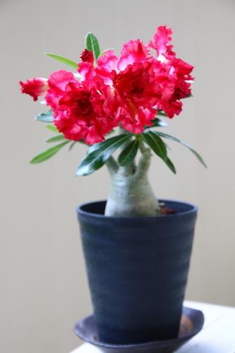 開花時のアデニウム・アラビカム