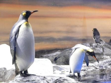 エプソン品川アクアスタジアム ペンギン