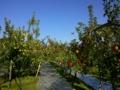 りんごの果樹園