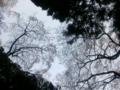 桜、ヒノキ(飯沼諏訪神社)