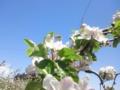 りんごの花とミツバチ