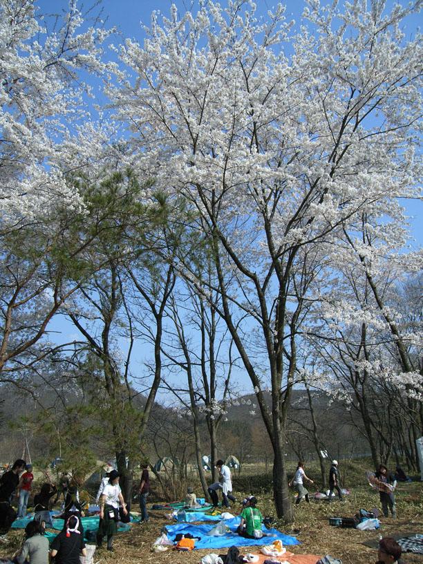 アラバキ 桜と共に音楽を