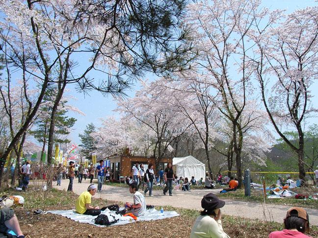 アラバキ 桜吹雪