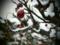 雪の庭先 ひめりんご トイフォトで