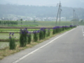 戸狩から上野に通ずる道端のアヤメ