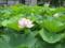 綺麗な蓮の花
