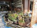 大倉崎、藤本君の食虫植物