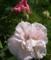 北海道で咲いた昼の酔芙蓉