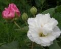 北海道で咲いた朝の酔芙蓉