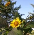 ヤーコンの花はまれに北海道でも咲くのです