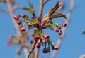 八重桜のツボミ