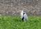 砂利層と風を背にアオサギ