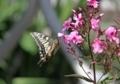 アゲハ蝶の舞い7
