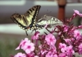 アゲハ蝶の舞い6