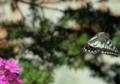 アゲハ蝶の舞い1