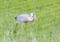 稲が小さいと田の中でエサ探し