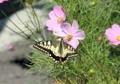 アゲハ蝶4
