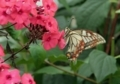 赤い花粉を付けたアゲハ蝶