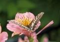 百合水仙とアゲハ蝶4