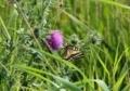 ノアザミとアゲハ蝶3
