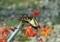 モントブレチアとアゲハ蝶1
