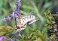 アメジストセージと白い花粉を付けたアゲハ蝶
