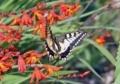 アゲハ蝶の舞い5