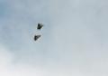 アゲハ蝶の舞い4