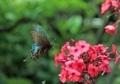 アゲハ蝶の舞い2
